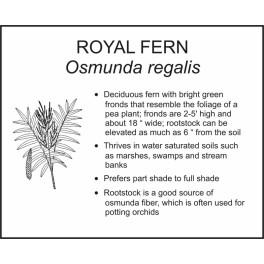 <i>Osmunda regalis</i> : ROYAL FERN