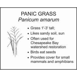 <i>Panicum amarum</i> : PANIC GRASS