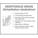 <i>Dichanthelium clandestinum</i> : DEERTONGUE GRASS