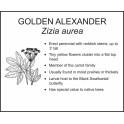 <i>Zizia aurea</i> : GOLDEN ALEXANDER