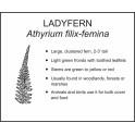 <i>Athyrium filix-femina</i> : LADYFERN