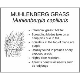 <i>Muhlenbergia capillaris</i> : MUHLENBERG GRASS