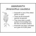 <i>Amaranthus caudatus</i> : AMARANTH