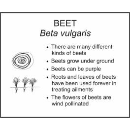 <i>Beta vulgaris</i> : BEET