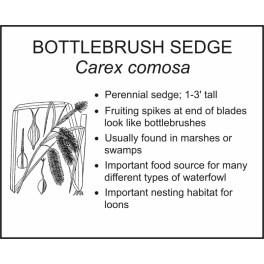 <i>Carex comosa</i> : BOTTLEBRUSH SEDGE