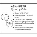 <i>Pyrus pyrifolia</i> : ASIAN PEAR