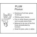 <i>Prunus</i> : PLUM