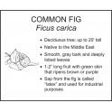 <i>Ficus carica</i> : COMMON FIG