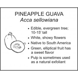 <i>Acca sellowiana</i> : PINEAPPLE GUAVA