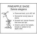 <i>Salvia elegans</i> : PINEAPPLE SAGE
