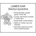 <i>Stachys byzantina</i> : LAMB'S EAR