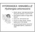 <i> Hydrangea arborescens </i> : HYDRANGEA ANNABELLE