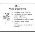 <i> Ruta graveolens </i> : RUE