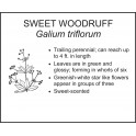 <i> Galium triflorum </i> : SWEET WOODRUFF