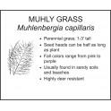 <i> Muhlenbergia capillaris </i> : MUHLY GRASS