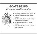 <i> Aruncus aesthusifolius </i> : GOATS BEARD