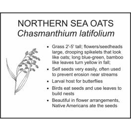 <i>Chasmanthium latifolium</i> : NORTHERN SEA OATS