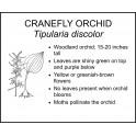 <i> Tipularia discolor </i> : CRANEFLY ORCHID