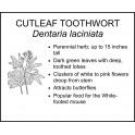 <i> Dentaria laciniata </i> : CUTLEAF TOOTHWORT