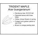 <i> Acer buergerianum </i> : TRIDENT MAPLE