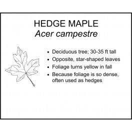<i> Acer campestre </i> : HEDGE MAPLE