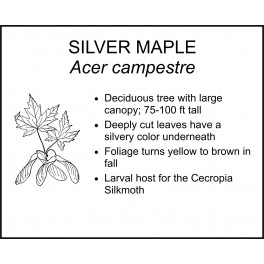<i> Acer saccharinum </i> : SILVER MAPLE