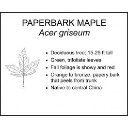 <i> Acer griseum </i> : PAPERBARK MAPLE