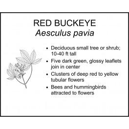 <i> Aesculus pavia </i> : RED BUCKEYE