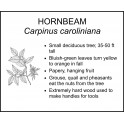 <i> Carpinus caroliniana </i> : HORNBEAM