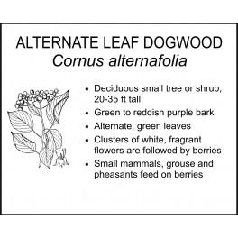 <i> Cornus alternafolia </i> : ALTERNATE LEAF DOGWOOD