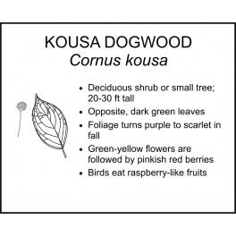 <i> Cornus kousa </i> : KOUSA DOGWOOD