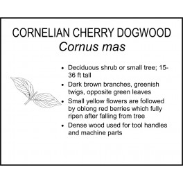 <i> Cornus mas </i> : CORNELIAN CHERRY DOGWOOD