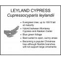 <i> Cupressocyparis leylandii </i> : LEYLAND CYPRESS