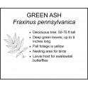 <i> Fraxinus pennsylvanica </i> : GREEN ASH