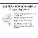 <i> Ostrya virginiana </i> : EASTERN HOP HORNBEAM