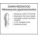 <i> Metasequoia glyptostroboides </i> : DAWN REDWOOD