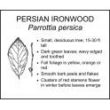 <i> Parrottia persica </i> : PERSIAN IRONWOOD