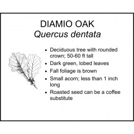 <i> Quercus dentata </i> : DIAMIO OAK