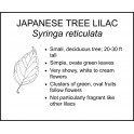 <i> Syringa reticulata </i> : JAPANESE TREE LILAC