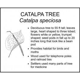 <i> Catalpa speciosa </i> : CATALPA TREE