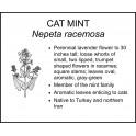 <i> Nepeta racemosa </i> : CAT MINT