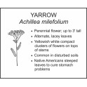 <i>Achillea milefolium</i> : YARROW