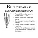 B: Blue Eyed Grass