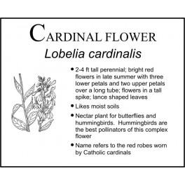 C: Cardinal Flower