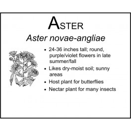 A: Aster