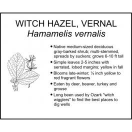 <i>Hamamelis vernalis</i>: VERNAL WITCH HAZEL