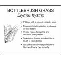 <i>Elymus hystrix</i> : BOTTLEBRUSH GRASS