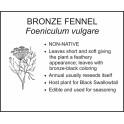 <i>Foeniculum vulgare</i> : BRONZE FENNEL
